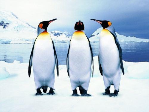 16-Interesting-Facts-about-Flightless-Bird-of-Antarctica-Penguins-16