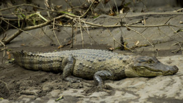 The  Caiman crocodilus photographed in the Sarapiqui river.